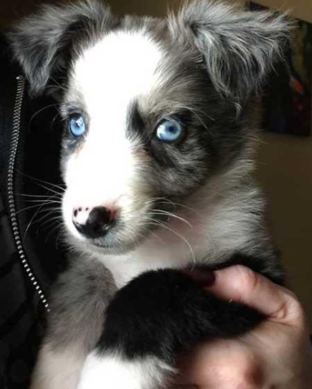 An Australian Shepherd with blue eyes