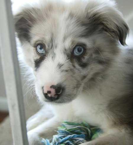An Australian Shepherd blue eyes