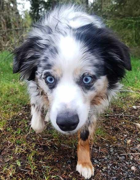 An Australian Shepherd blue eyes outside