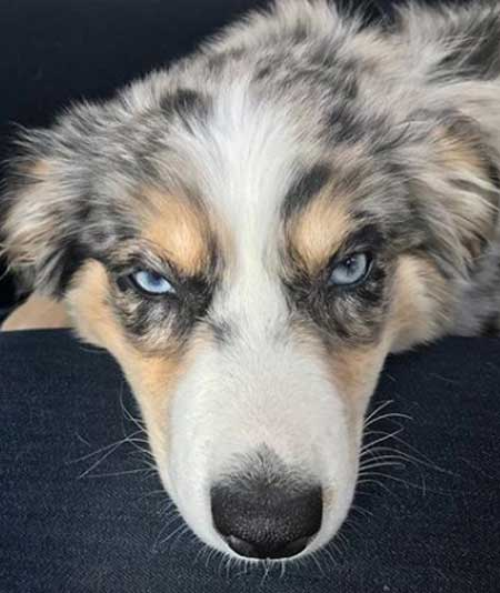 An Australian Shepherd blue eyes peering at the camera