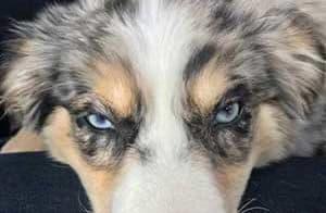 Blue eyed aussie