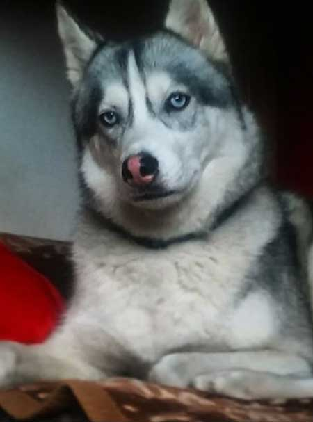 blue eyed husky looking at the camera