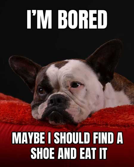 French Bulldog Meme: I'm Bored, maybe I should find a shoe and eat it!