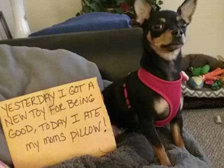 Silly dog shaming pictures of a pillow eater