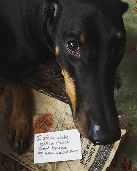 Silly dog shaming pictures of dog that cheese bread