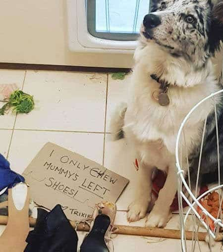Silly dog shaming pictures of dog that only chews the left shoe