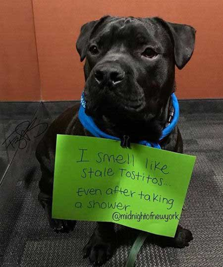 Silly dog shaming pictures of a dog that stinks like tostitos