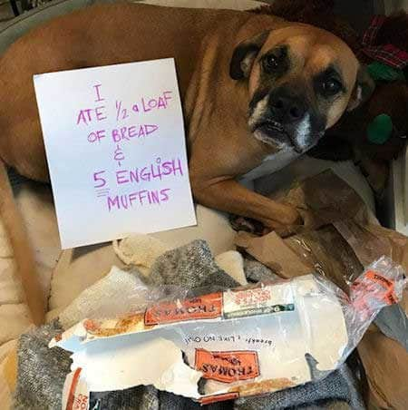 Silly dog shaming pictures of a carb eater
