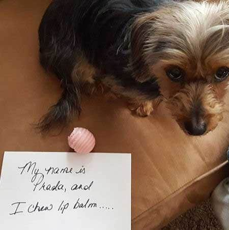 Silly dog shaming pictures of a lip balm eater