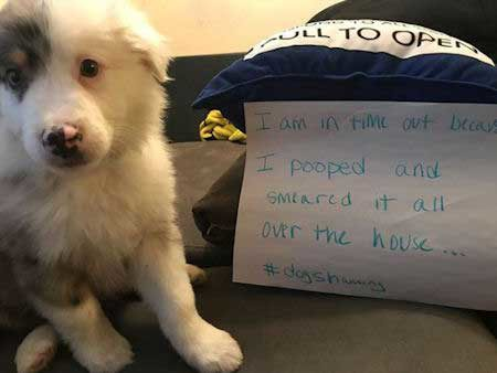Silly dog shaming pictures of a dog that went to the bathroom inside