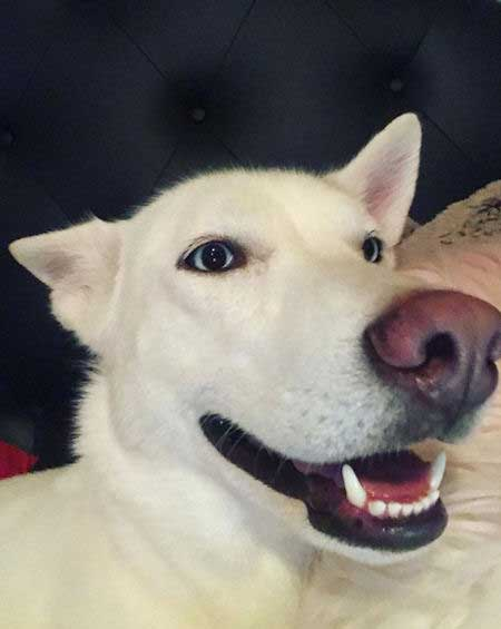 white husky with blue eyes on the bed