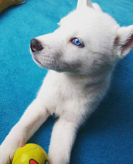 white husky with blue eyes profile