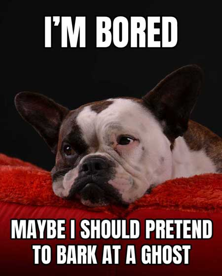 Frenchie of the Bored Dog Meme saying I'm Bored maybe I should bark at ghost