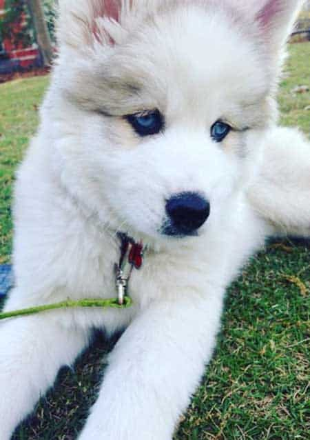 husky puppy with blue eyes on the grass