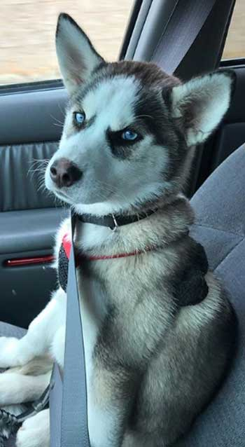 husky puppies with blue eyes sitting the car
