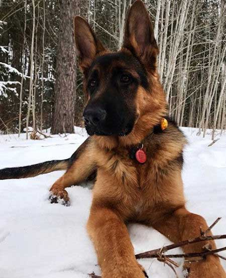 GSD in snow for most popular dog breeds