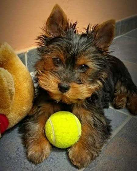 Yorkie with a tennis ball for most popular dog breeds