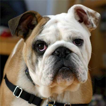 bulldog for most popular dog breeds