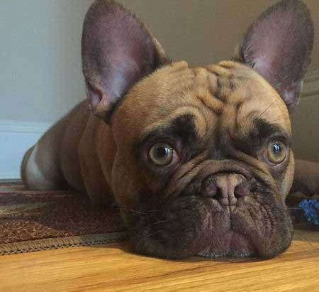 Frenchie for most popular dog breeds