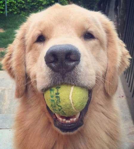 Golden Retriever for most popular dog breeds