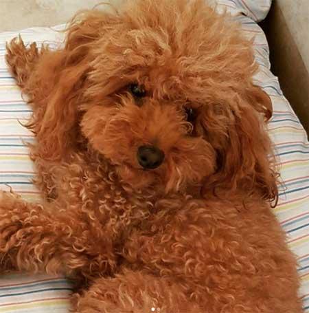 poodle red for most popular dog breeds