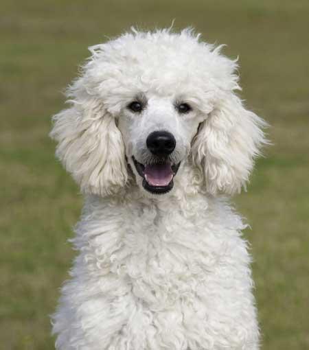 poodle for most popular dog breeds