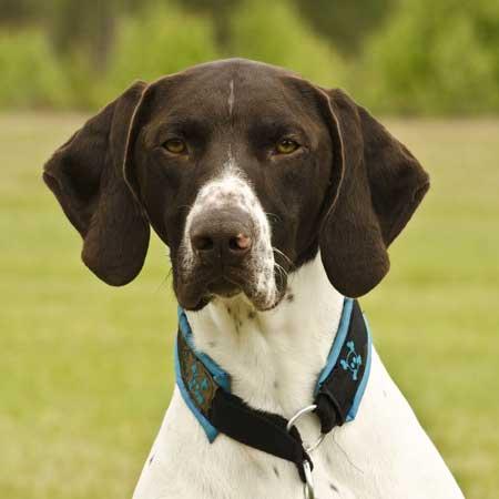 Most Popular Dog Breeds, German Shorthaired Pointer