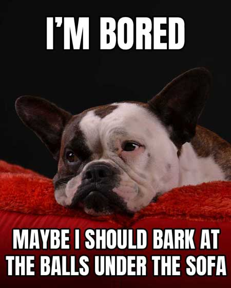 Bored Bulldog meme thinking about barking at the balls under the sofa