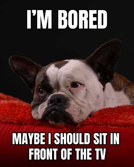 Cute dog memes of bored french bulldog thinking about sitting in front of the TV