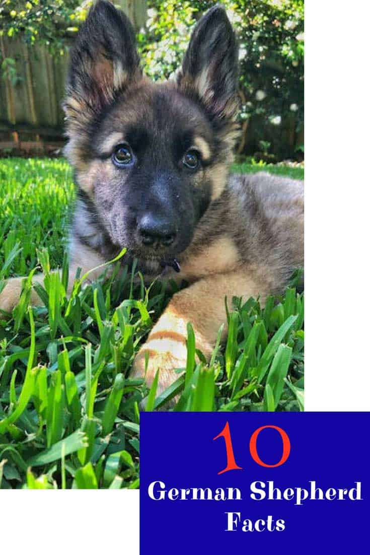 German Shepherd Puppy laying in the grass