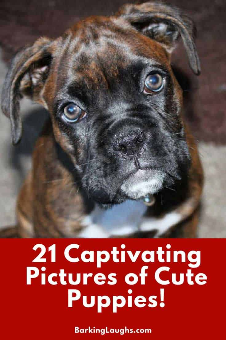 Boxer Puppy for 21 Captivating Pictures of Cute Puppies