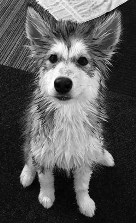 wet Alaskan Malamute puppy