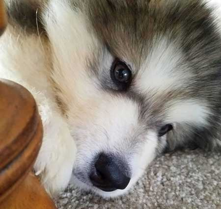 Alaskan Malamute puppy laying on the rug