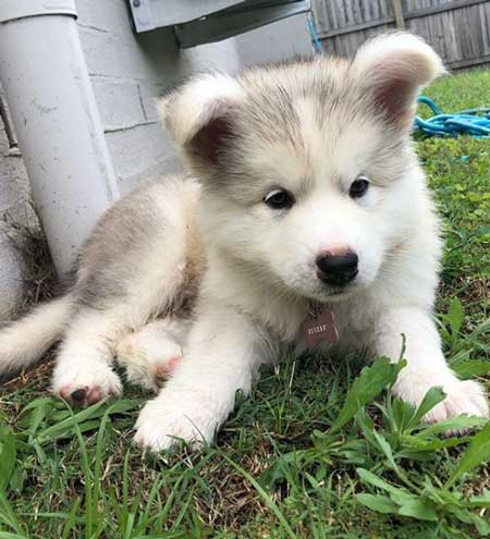 Alaskan Malamute puppy laying on the grass