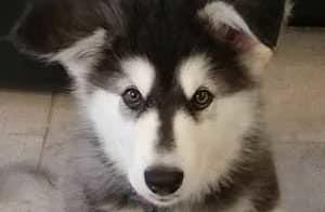 Alaskan Malamute Puppy closeup