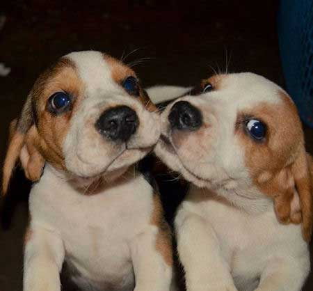 Two beagle puppies look like they're kissing