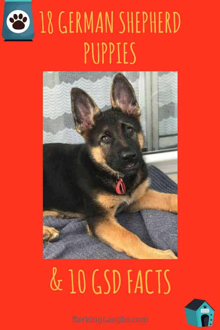 German Shepherd Puppy for Awesome GSD post