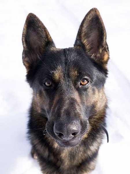 awesome head shot of German shepherd dog