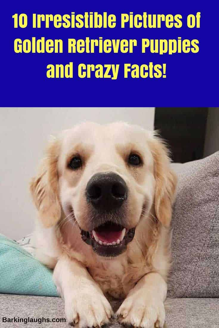 10 Irresistible Pictures of Golden Retriever Puppies and Crazy Facts!