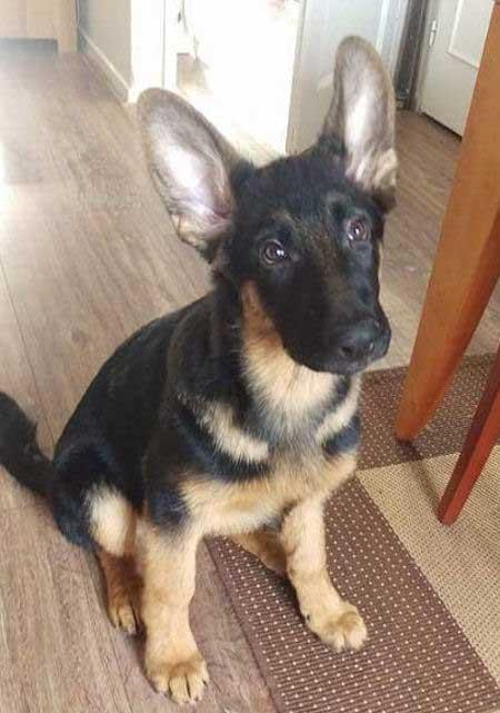 German Shepherd Pup sitting on the floor