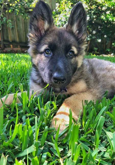 GSD Puppy with head up laying in the grass
