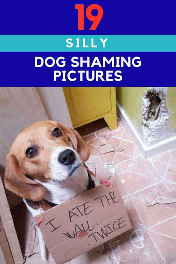 Beagle ate a wall for 19 Silly Dog Shaming pictures.