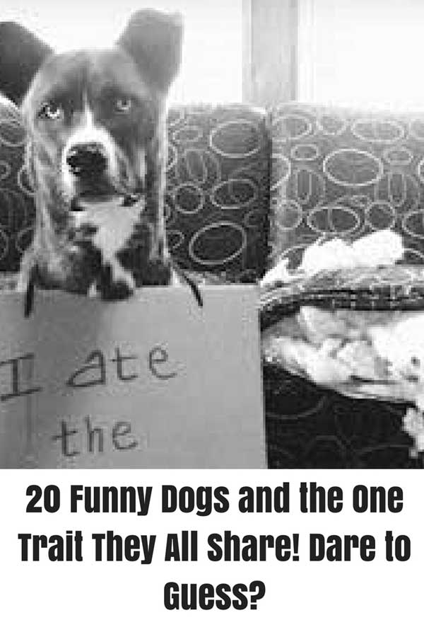 Dog Ate the Sofa in a funny dog picture