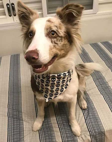 tan and white border collie sitting on the bed
