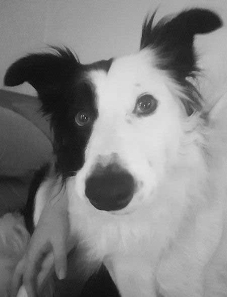black and white border collie picture