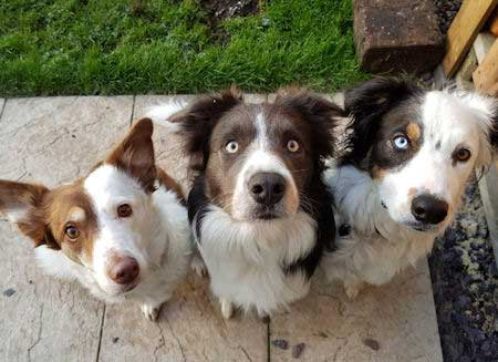 3 cool looking border collies