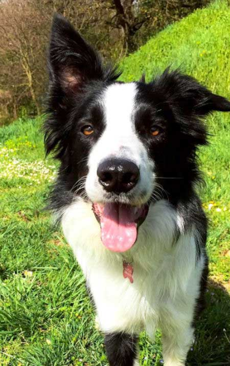 black and white border collie in the grass