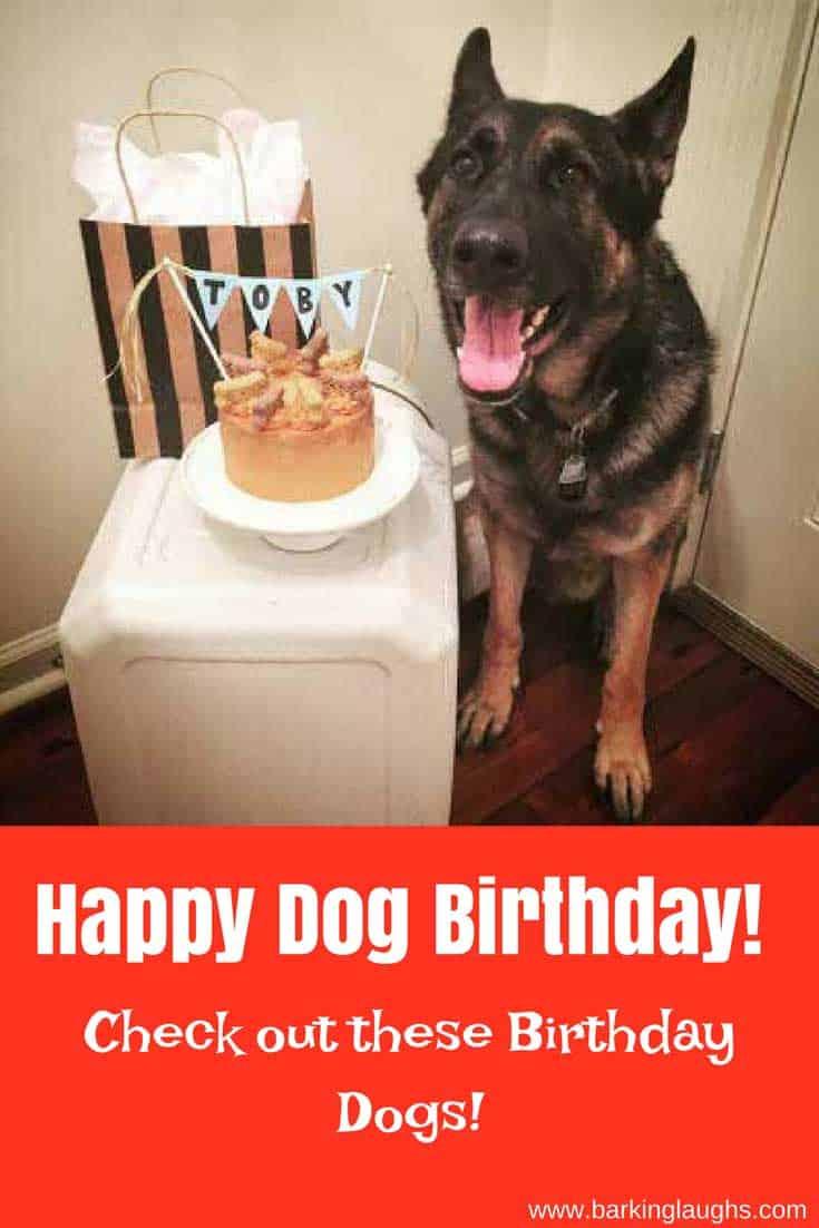 German Shepherd celebrating a birthday