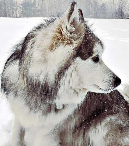 malamute in the snow