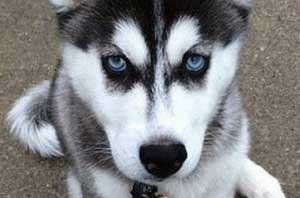 close up of a husky puppy
